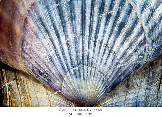 Yesso scallop, Giant Ezo scallop, or Ezo giant scallop (Mizuhopecten yessoensis) Sea of Japan, Rudnaya Pristan, Far East, Primorsky Krai, Russia
