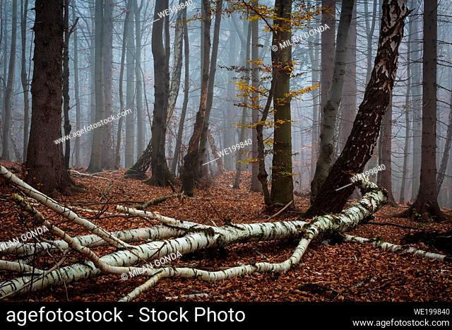 Fallen birch tree in Mala Fatra national park, Slovakia