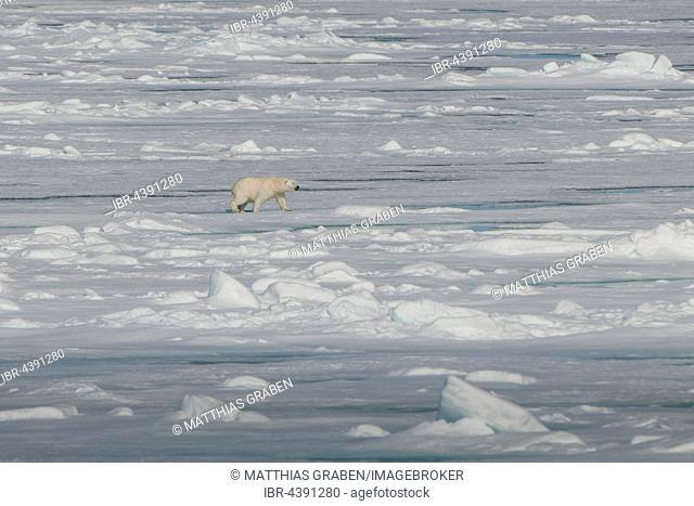 Polar bear (Ursus maritimus) walking on pack ice, Spitsbergen, Norway