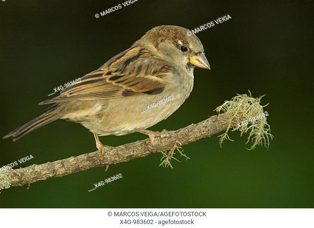 Gorrión común, House Sparrow , Passer domesticus, Pontevedra, España