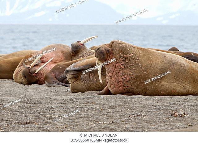 Adult male walrus Odobenus rosmarus rosmarus hauled out on the beach at Poolepynten in Prins Karls Forland in the Svalbard Archipelago in the Barents Sea