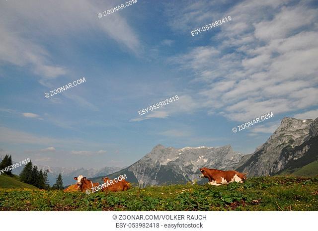 kuh, tennengebirge,werfenweng, alm, kühe,weide, landwirtschaft, alpen, gipfel, berg, berge, hochgebirge, österreich, salzburg, land salzburg, rind