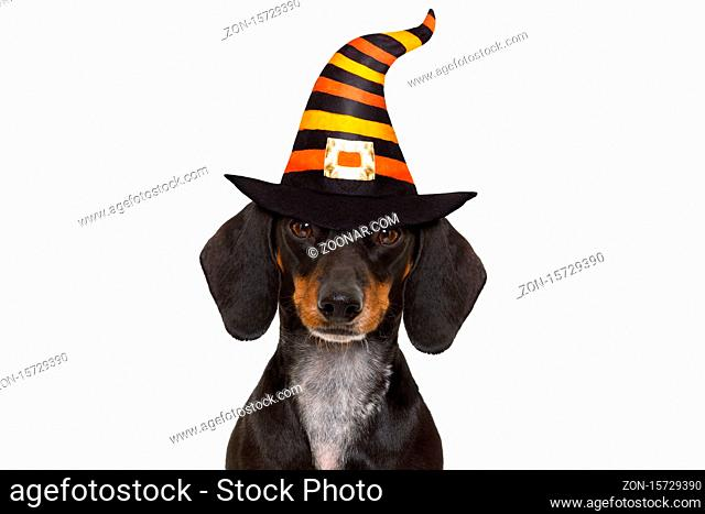 halloween devil sausage dachshund dog scared and frightened, isolated on white background, wearing a witch hat