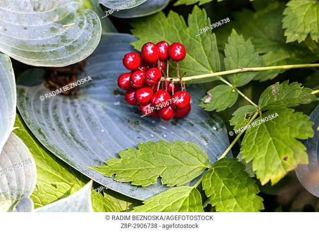 Actaea rubra with red ripening poisonous berries