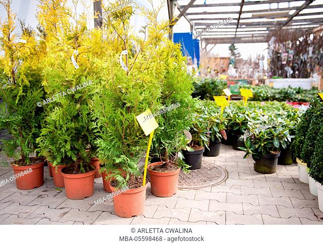 Young Thuja Yellow Ribbon seedlings little trees, seedlings in brown plastic flowerpots with yellow price sticks on the ground in market place in shop outside