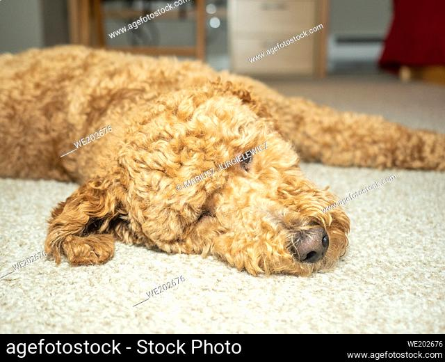 Australian Labradoodle is a mix between the Labrador Retriever, Poodle and Cocker Spaniel