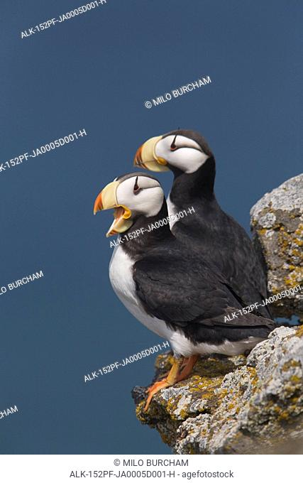 Horned Puffin pair, one yawning, perched on rock ledge with the blue Bering Sea in background, Saint Paul Island, Pribilof Islands, Bering Sea, Southwest Alaska