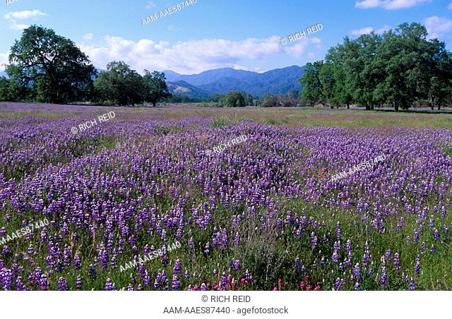 Fields of lupine and owl clover, Valley Oak trees near Indians Los Padres National Forest, Merle Ranch,California