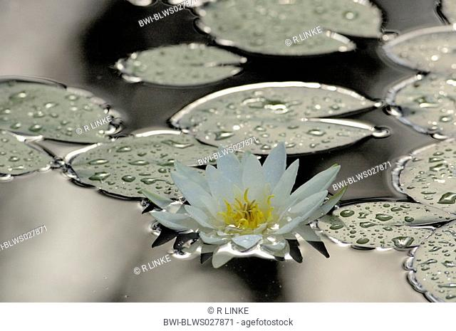 white water-lily, white pond lily Nymphaea alba, white water-lily swims on pond