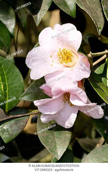 Camellia williamsii 'First Flush'