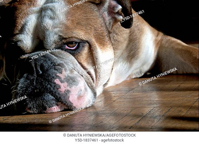 sleepy English bulldog resting on the wooden floor