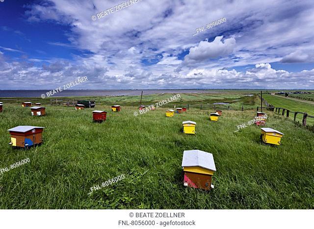 Colonies of bees, Hamburger Hallig, North Frisian Islands, Schleswig-Holstein, Germany, Europe