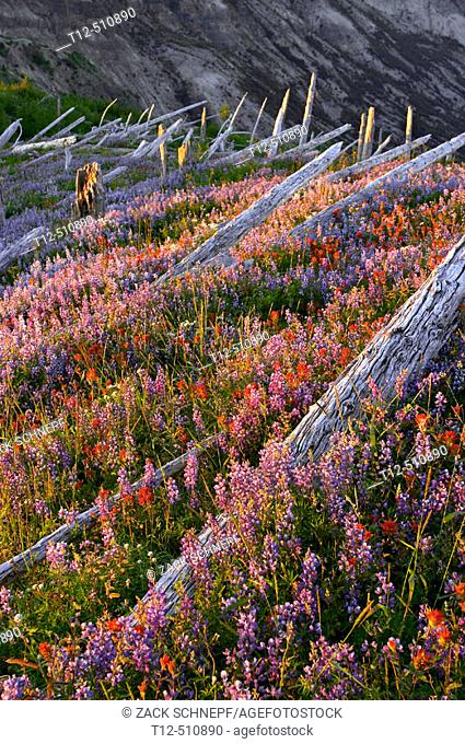 Wildflower field, and fallen trees on Mount Saint Helens