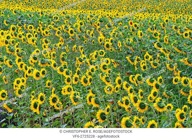 France, Midi Pyrenees, Gers 32, Sunflower field near Monfort