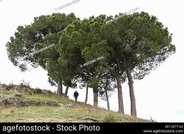 Stone pines (Pinus pinea). Rambla de Sugel. Almansa. Albacete Castilla-La Mancha, Spain