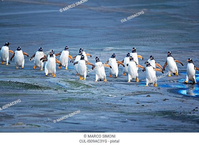 Gentoo penguins (Pygoscelis papua papua) surfing wave, Falkland Islands