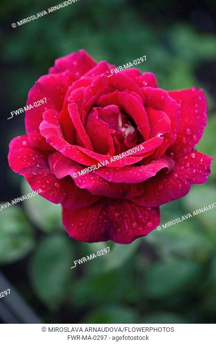 Rose, Rosa, Close up of red coloured flower growing outdoor showing pattern of petals