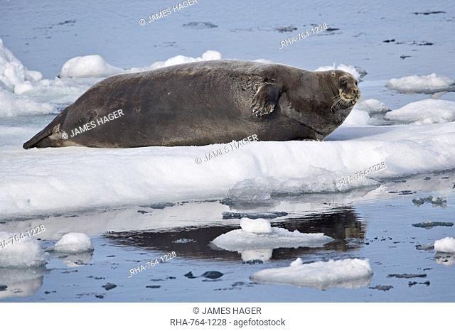 Bearded seal Erignathus barbatus on ice, Svalbard Islands, Arctic, Norway, Europe