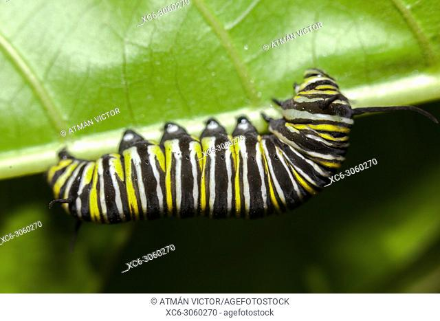 monarch butterfly caterpillar walking on a green leaf. Image taken in Palmetum garden. Tenerife, Canary islands, Spain