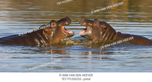 Hippopotami swimming in lake