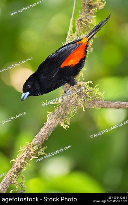 Cherrie's Tanager, Ramphocelus costaricensis, Tropical Rainforest, Costa Rica, Central America, America