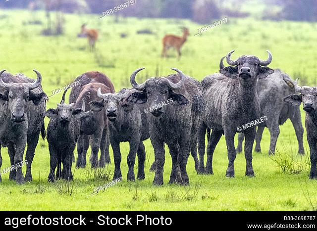 Cape buffalo (Syncerus caffer) gather during the rainy season to graze the lush grasslands at Ishasha in the southwest sector of the Queen Elizabeth National...