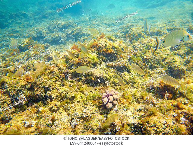 Mediterranean underwater fishes in reef of Alicante Spain