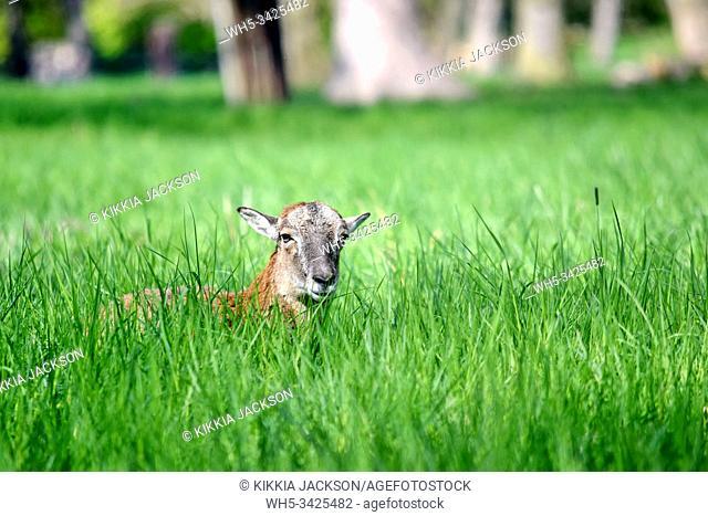 Mouflon Female Ovis Aries Musimon Lying in Grass, Czech Republic
