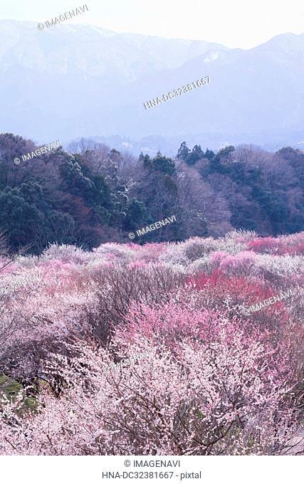 Japanese Plum Garden