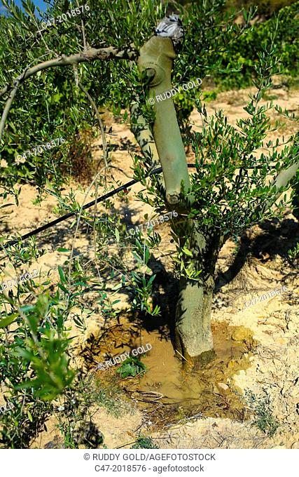 Micro-irrigation of juvenile olive tree at a point near Castellbell i el Vilar municipality in the Bages area, Barcelona province, Catalonia, Spain