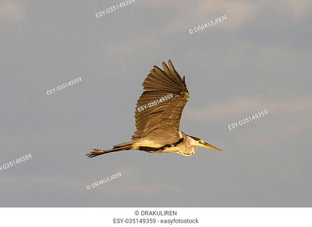 gray heron flies with straightened wings sunrise, nice colors