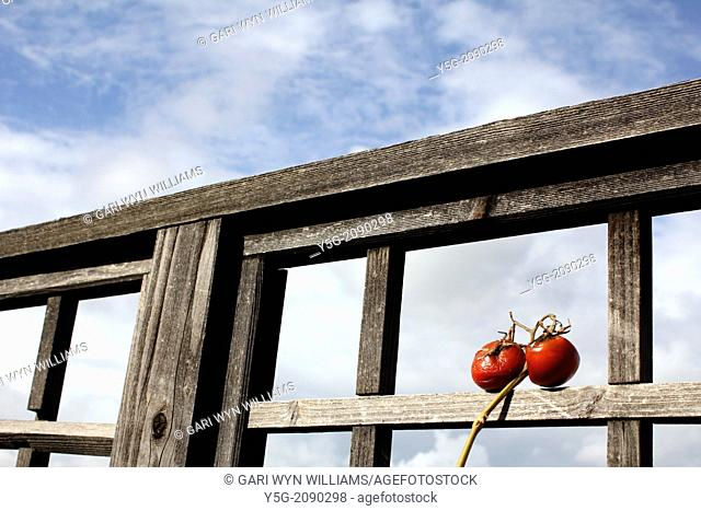 two old tomatoes by garden fence with blue sky