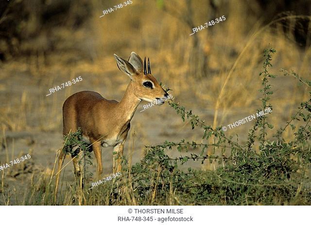 Steenbok, Raphicerus campestris, Chobe National Park, Savuti, Botswana, Africa