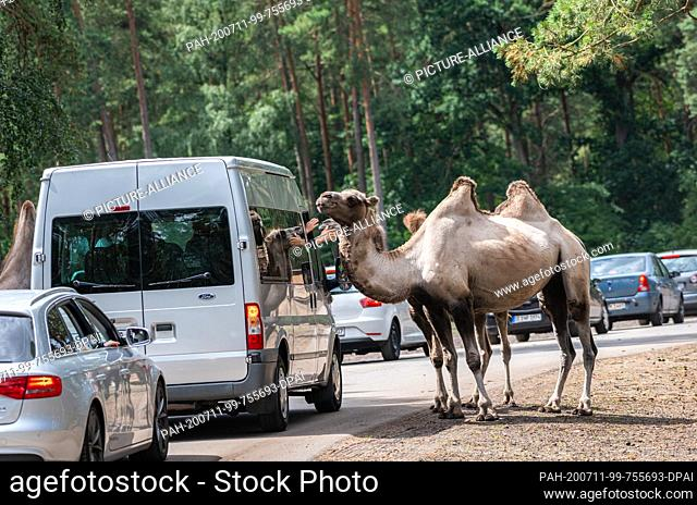 11 July 2020, Lower Saxony, Hodenhagen: A bactrian camel is in the Serengeti-Park Hodenhagen next to a visitor vehicle and is being stroked by the co-driver