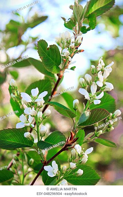 Branches of saskatoon berry blossoms in spring