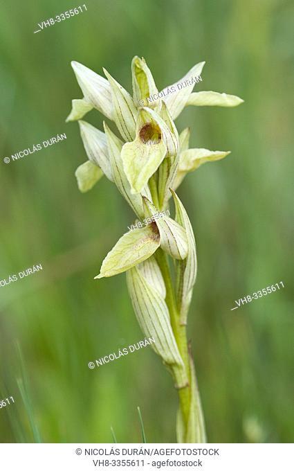 Serapia Perez chiscanoi orchid, Extremadura, Spain
