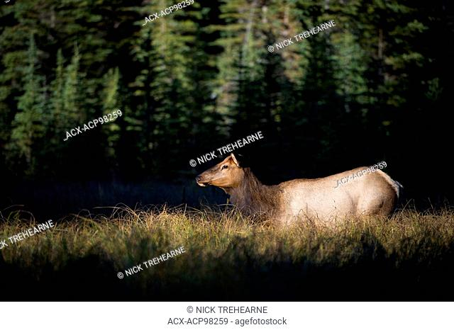 Cervus canadensis nelsoni, rocky mountain elk, rut, Alberta, Canada, cow in morning light