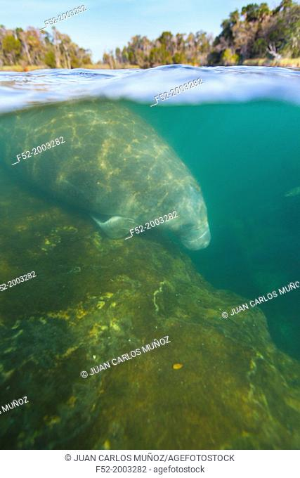 FLORIDA MANATEE ((Trichechus manatus latirostris ), Everglades National Park, FLORIDA, USA, AMERICA