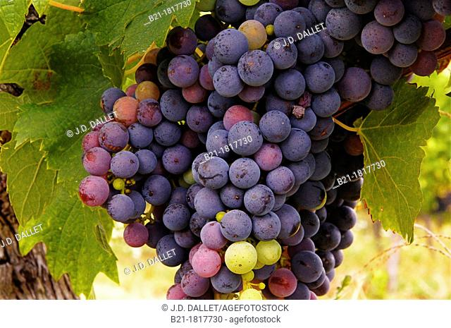 France-Aquitaine- Gironde- wine grappes of 'merlot' at Castillon, in the Bordeaux wines district