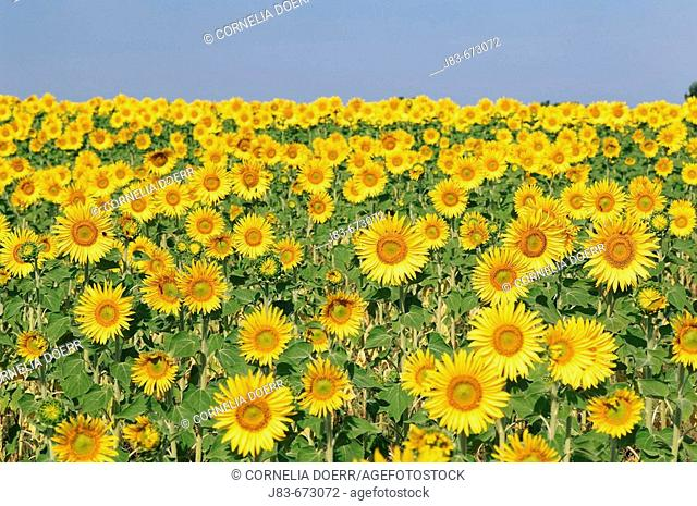 Field of Sunflowers, Plateau de Valensole, Valensole, Provence, France