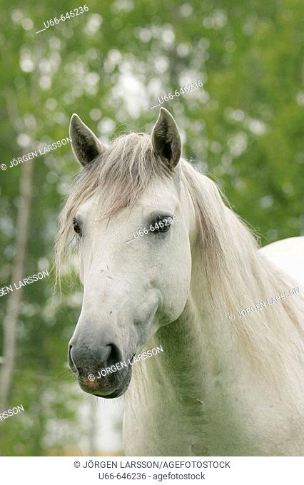 Lusitano horse, Sweden
