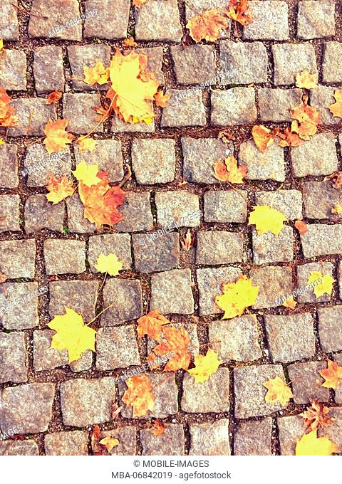 Norway maple, Acer platanoides, fallen leaves on cobbled pavement