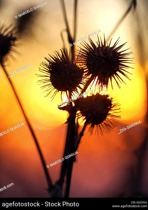 Backlit prickly thistles (Cirsium arvense) at sunset. Montseny Natural Park. Barcelona province, Catalonia, Spain