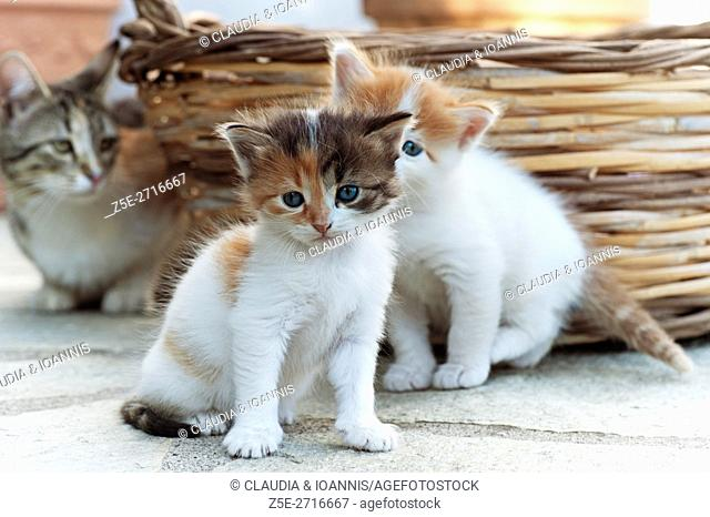 Two four weeks old kittens with their mother in the background outdoors