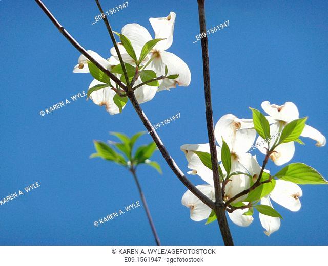 backlit white dogwood blossoms against blue sky, Monroe County, Indiana