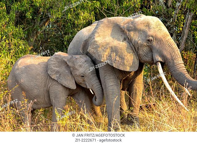mother elephant with young in queen Elizabeth national park, Uganda