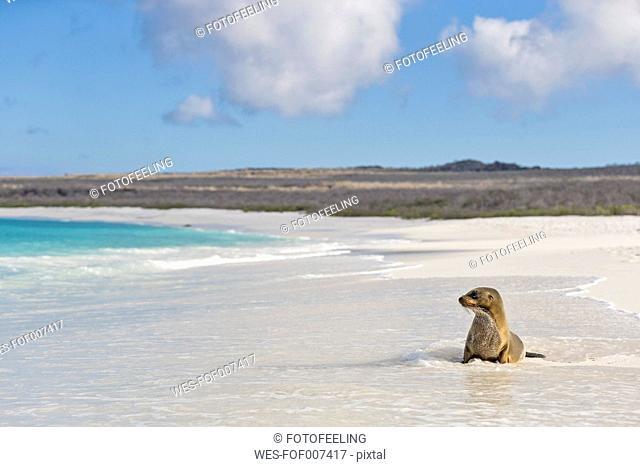 Ecuador, Galapagos Islands, Espanola, Gardner Bay, sea lion sitting in water at seafront
