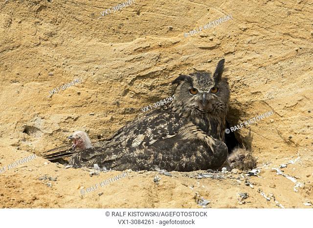 Eurasian Eagle Owl ( Bubo bubo) with fresh hatched chick, wildlife, Europe