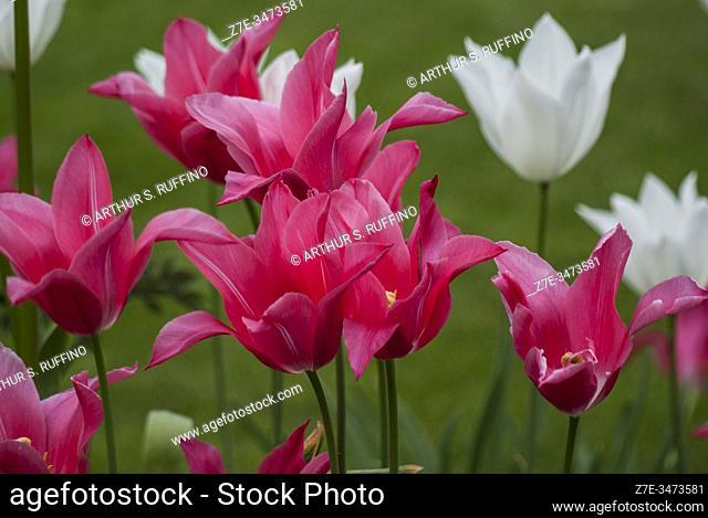 Pink and white tulips. Tulip season at Tivoli Gardens. Copenhagen, Denmark, Europe