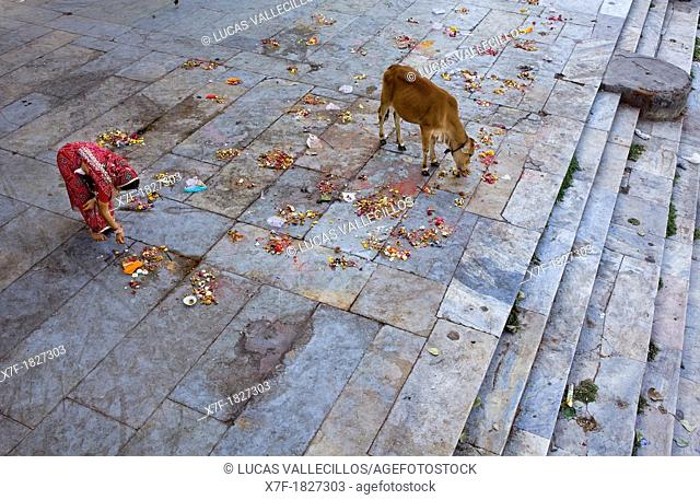 Girl making a offering and cow eating the offerings,in Gangaur ghat,Pichola lake,Udaipur, Rajasthan, india